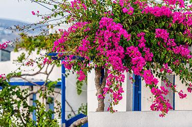 Visiter Parikia, vue sur des fleurs